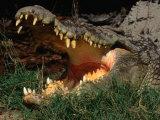 Saltwater Crocodile (Crocodylus Porosus), Kakadu National Park, Australia 写真プリント : ミッチ・リアドン