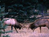 Male Elk (Cervus Elaphus) Fighting During the Rut, Jasper National Park, Alberta, Canada Photographic Print by Mark Newman