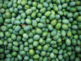 "Harvest of Green ""Sevillana"" Olives, Napa Valley, California, USA Fotodruck von Roberto Gerometta"
