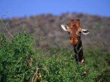 Reticulated Giraffe Peering Over Bush, Looking at Camera, Samburu National Reserve, Kenya Photographic Print by Anders Blomqvist
