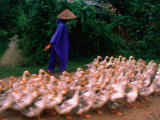 Farmer Herding a Flock of Ducks, Hue, Vietnam Photographic Print by Keren Su