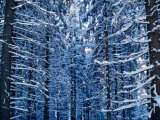 Snow Covered Pine Trees in Demanovska Valley Forest, Low Tatra Mountains, Slovakia Photographic Print by Richard Nebesky