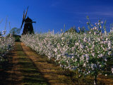 Apple Orchard and Windmill, Kivik, Sweden Photographic Print by Anders Blomqvist