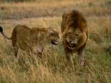 Lion and Lioness Growling at Each Other, Masai Mara National Reserve, Rift Valley, Kenya Fotografie-Druck von Mitch Reardon