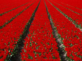 Red Tulip Field in Lisse, Amsterdam, North Holland, Netherlands Photographic Print by Izzet Keribar