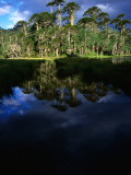 Native Araucaria or Monkey-Puzzle Trees Reflected in Lake, Cani Sanctuary, Chile Photographic Print by Woods Wheatcroft