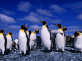 King Penguins (Aptenodytes Patagonicus) on Beach at Sandy Bay, Macquarie Island, Antarctica Photographic Print by Grant Dixon