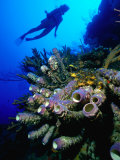 Diver with Purple Tube Sponge off the Coast of Jamaica, Jamaica Photographic Print by Greg Johnston