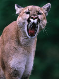Cougar (Felis Concolor), USA Photographic Print by Mark Newman