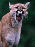 Cougar (Felis Concolor), USA Photographic Print by Mark Newman