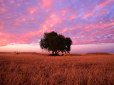 Sunset Over Lone Tree in Paddock, Rochester, Australia Photographic Print by Will Salter