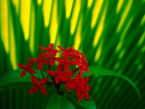 Red Bouvardia, Cook Islands Fotografie-Druck von Peter Hendrie