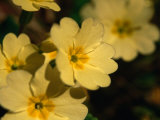 Yellow Primrose (Primula Vulgaris), Glenveagh National Park, Ireland Photographic Print by Gareth McCormack