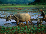 Planting Rice in Paddy with Ox, Sapa, Vietnam, Photographic Print