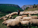 Shepherd with His Flock of Sheep, Turda, Romania Photographic Print by Pershouse Craig