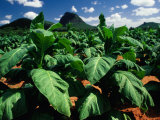 Tobacco Plants with Mountains Behind., Glass House Mountains, Queensland, Australia Photographic Print by John Banagan