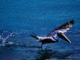 Brown Pelican (Pelecanus Occidentalis) Taking Flight, Ecuador Photographie par Richard I'Anson