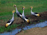 Four Grey Crowned-Cranes (Balearica Regulorum), Masai Mara National Reserve, Rift Valley, Kenya Photographic Print by Mitch Reardon