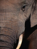 Tusk and Trunk Detail of an Elephant in the Addo Elephant Park,Eastern Cape, South Africa Photographic Print by Carol Polich