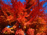 Red Autumn Foliage, Bellinzona, Switzerland Photographic Print by Martin Moos