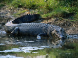 Saltwater Crocodile on Waters Edge, Kakadu National Park, Australia Photographic Print by Dennis Jones