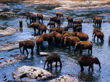 Elephants Bathing in River, Pinnewala Elephant Orphanage, Sri Lanka Photographic Print by Richard I'Anson