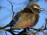 Purple Roller (Coracias Naevia), South Africa Photographic Print by Carol Polich
