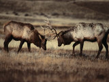 Sparring Bull Elk (Cervus Elaphus), Yellowstone National Park, Wyoming, USA Photographic Print by Carol Polich