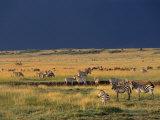 Migrating Zebras, Masai Mara National Reserve, Rift Valley, Kenya Photographic Print by Mitch Reardon