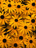Black Eyed Susan Flowers (Rudbekia Hirta) at Ballard Locks, Seattle, USA Photographic Print by Levesque Kevin