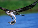 European Osprey (Pandion Haliaetus) with Fish, Finland Photographic Print by David Tipling
