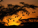Nests of Spectacled Weaver Hanging from Acacia Trees, Buffalo Springs National Reserve, Kenya Fotografisk tryk af Mitch Reardon