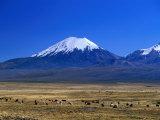 Llama and Alpaca Herd in Sajarma Valley with Mt. Parincota Behind, Mt. Parincota, Oruro, Bolivia Impressão fotográfica por Grant Dixon