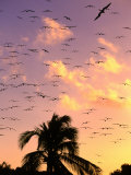Frigate Birds Soaring at Sunrise Around Coconut Palms, Cayos Cochinos, Islas De La Bahia, Honduras Photographie par Ralph Lee Hopkins