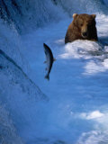 Brown Bear (Grizzly) Fishing at Waterfall, Alaska, USA Photographic Print by Shannon Nace