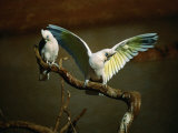 Little Corella (Cacatua Pastinator), Mootwingee National Park, New South Wales, Australia Photographic Print by Mitch Reardon