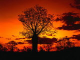 Boab Trees at Sunset, Kununurra,Western Australia, Australia Photographic Print by Richard I'Anson