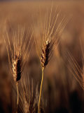 Wheat in Mullewa, Australia Photographic Print by Peter Ptschelinzew