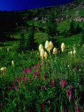 Beargrass (Xerophyllum Tenax) Near Eagle Pass, Mission Mountains Tribal Wilderness, Montana, USA Photographic Print by Gareth McCormack