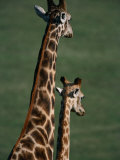 Giraffes, Tala Private Game Reserve, Kwazulu-Natal, South Africa Photographic Print by Carol Polich