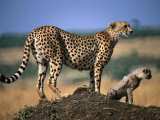 Mother Cheetah with Cub on Dirt Mound, Masai Mara National Reserve, Rift Valley, Kenya Photographic Print by Mitch Reardon