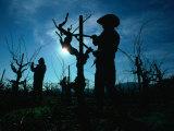 Silhouette of People Pruning Vines, Dry Creek Valley, Sonoma, USA Fotografie-Druck von Nicholas Pavloff