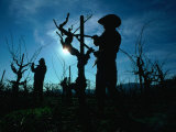 Silhouette of People Pruning Vines, Dry Creek Valley, Sonoma, USA Photographic Print by Nicholas Pavloff