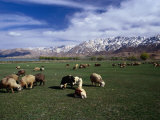 Sheep Graze on Fertile Green Pastures of Zagros Plains, Iran Photographic Print by Patrick Syder