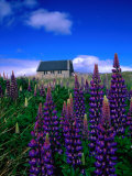 Wildflowers Near the Church of the Good Shepherd, Lake Tekapo, Canterbury, New Zealand Photographic Print by David Wall
