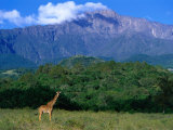 Lone Giraffe (Giraffa Camelopardalis) in Front of Mt. Meru, Mt. Meru, Arusha, Tanzania Photographic Print by Ariadne Van Zandbergen