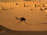 Emu Running Through the Pinnacles, Pinnacles Desert, Australia Photographic Print by Christopher Groenhout