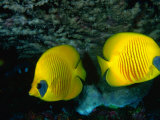 A Pair of Masked Butterflyfish (Chaetodon Semilarvatus), Red Sea, Egypt Photographic Print by Casey Mahaney