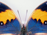 Detail of a Butterfly Body and Wings, Wolong Ziran Baohuqu, China Photographic Print by Keren Su