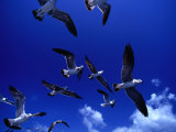 Flock of Franklin's Gulls (Larus Pixpican) in Flight, Costa Rica Photographic Print by Alfredo Maiquez